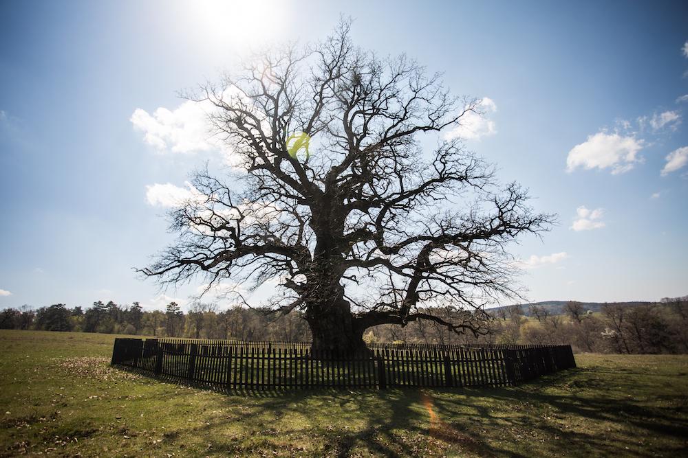 batranul carpatilor - cel mai vechi arbore din Romania